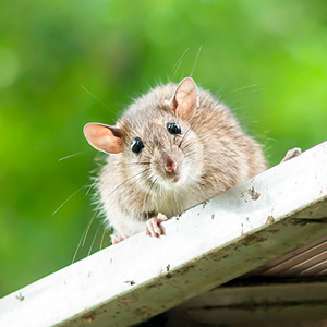 老鼠声音大全