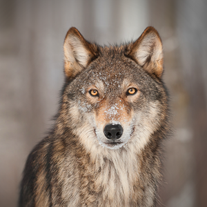 狼声音大全