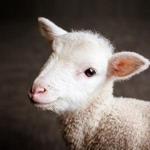 羊声音大全